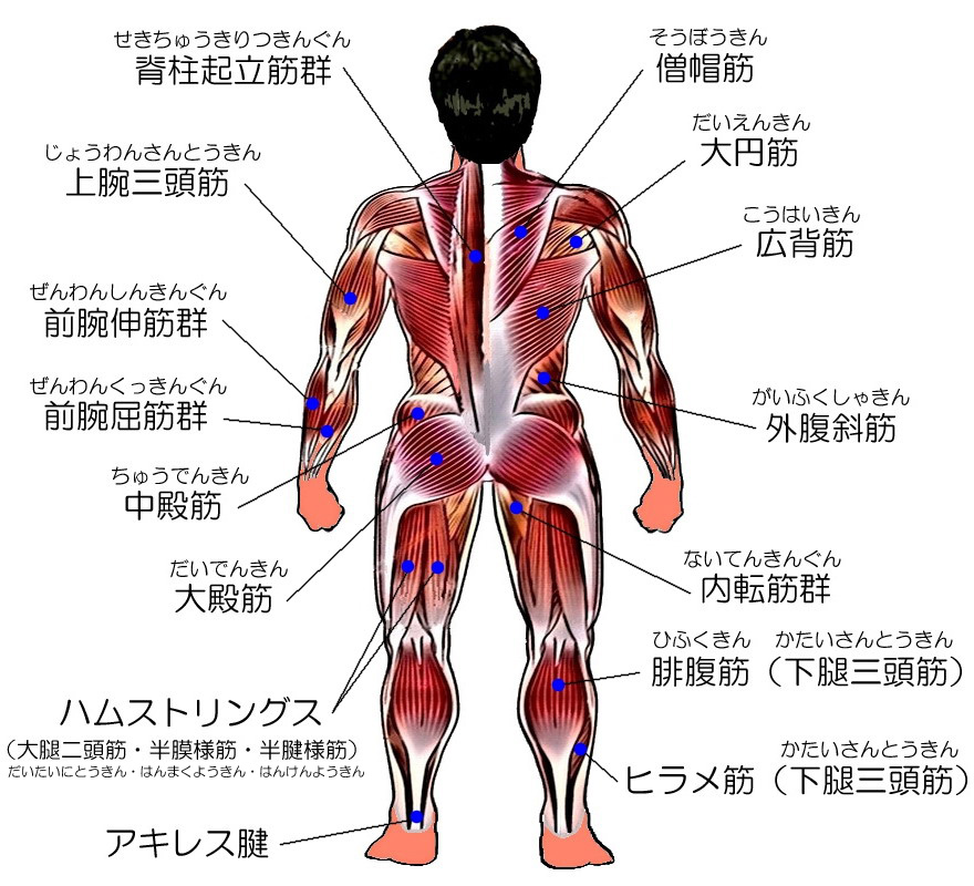 Images of 人間の筋肉の一覧 - J...